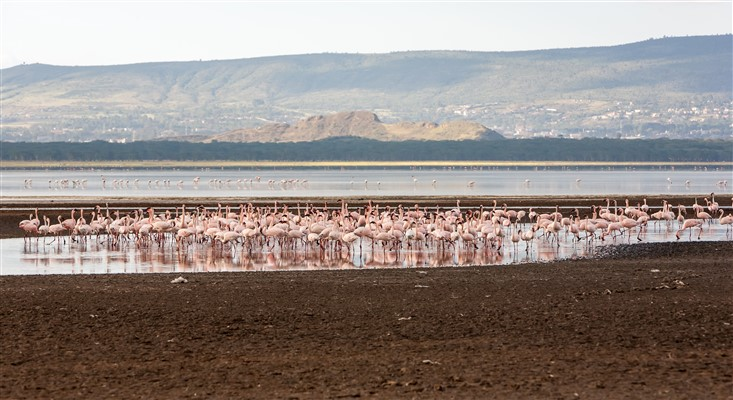 Flock Greater Pink Flamingos In Kenya, Africa