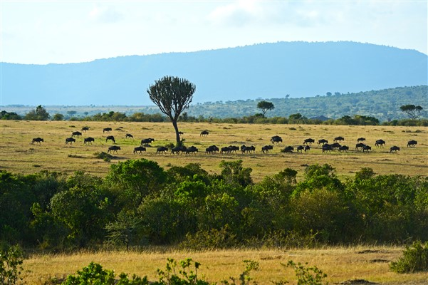 Great Wildebeest Migration at the Maasai Mara Game Reserve
