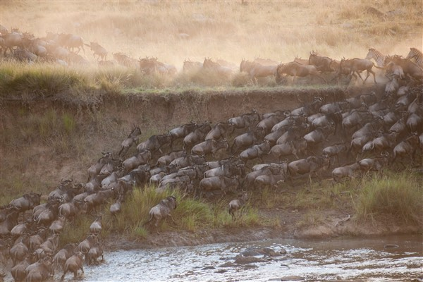 Great Wildebeest Migration at the Maasai Mara